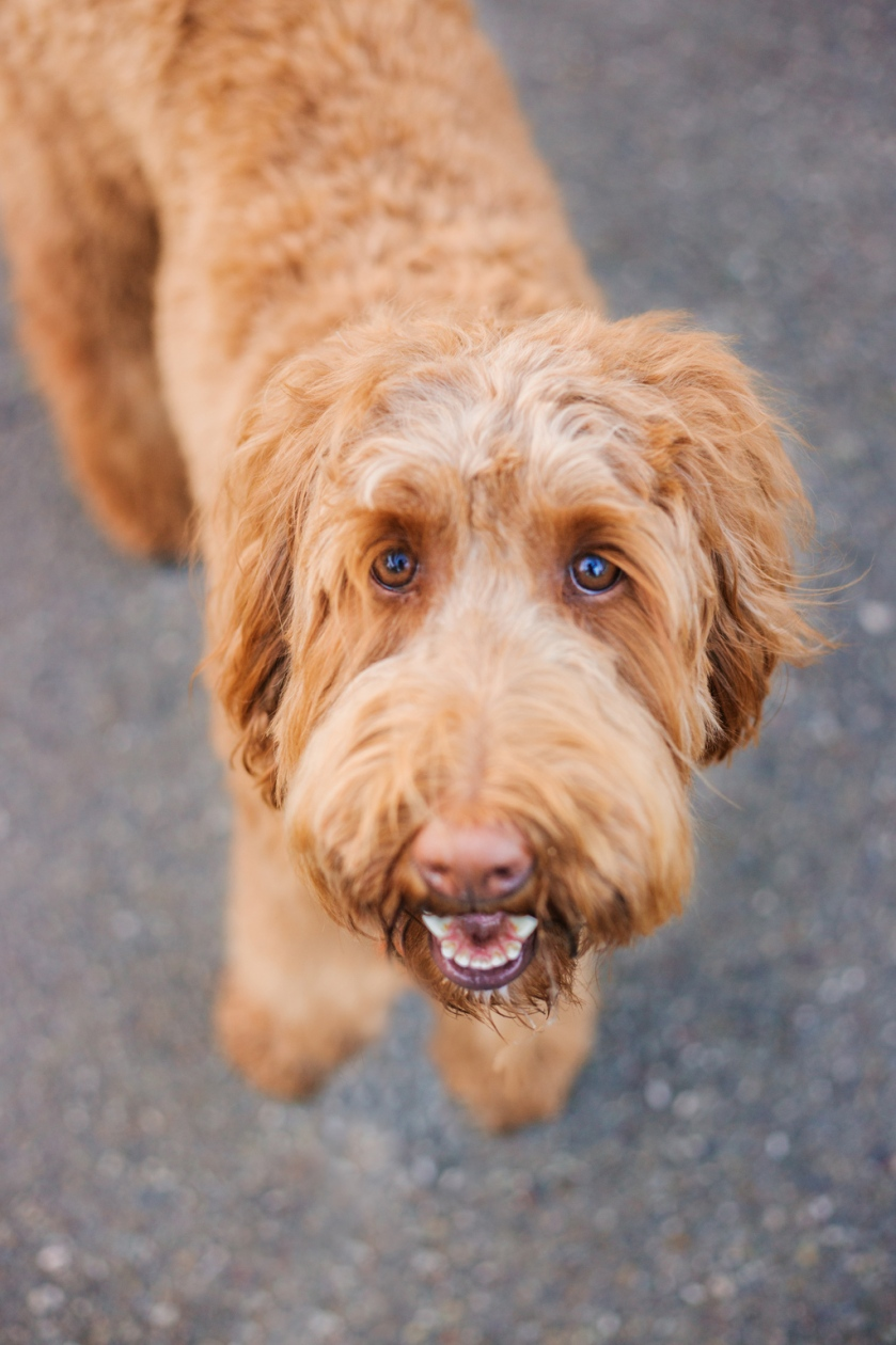 portrait of a golden labradoodle puppy at park by jessica michelle photo